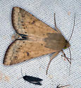 brown moth - Helicoverpa zea