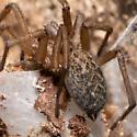 Unknown Spider - Eratigena agrestis