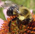 Bumble bee - Bombus impatiens