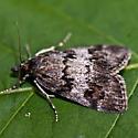 Moth with Mite - Gesneria centuriella