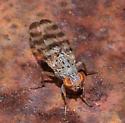 Picture-winged fly – Pseudotephritina cribellum? - Pseudotephritina