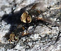 Gonia - male - female