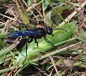 Thread-waisted wasp Sphecidae - Sphex pensylvanicus - female