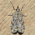 Scoparia basalis - Eudonia heterosalis