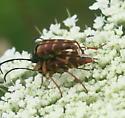 Typocerus velutinus mating - Typocerus velutinus - male - female
