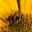 Transverse Flower Fly? - Eristalis transversa