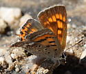 Tailed Copper - Lycaena arota - female