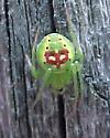 green spider on fence - Araneus cingulatus