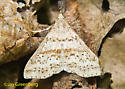 Possible Speckled Renia Moth - Renia adspergillus