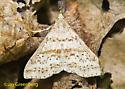 Possible Speckled Renia Moth - Renia salusalis - male