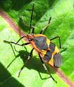 which milkweed bug? - Oncopeltus fasciatus
