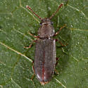 Unknown Beetle - Pediacus fuscus