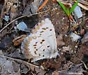 Blue Butterfly  small April a - Celastrina lucia