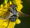 Tachinid Fly - Gymnoclytia