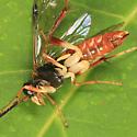 Sawfly - Macrophya varia - female