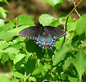 Blue and black Butterfly - Papilio glaucus - female