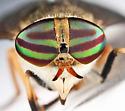 Striped Horse Fly - Tabanus lineola - female