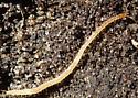 Centipede - Schendyla nemorensis