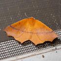 Orange moth - Tetracis cervinaria