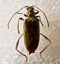 Gorgeous beetle.. - Donacia