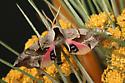 Moth(uknown species) - Smerinthus cerisyi
