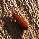 Flat bark beetle? - Adelina