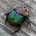 Rainbow scarab - Phanaeus vindex - female
