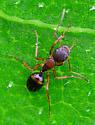 ant - Camponotus subbarbatus