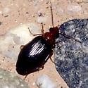 Mystery beetle - Lebia tuckeri