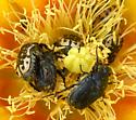Large Black Beetle - Euphoria