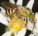 Agapostemon sp?  - Agapostemon - male