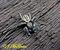 Jumping Spider 25 - Phidippus purpuratus