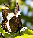 White Admiral(?) in woods - Limenitis arthemis