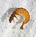 Hydropsyche venularis