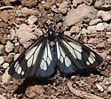 Police Car Moth - Gnophaela vermiculata - Gnophaela vermiculata