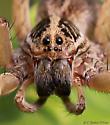 Wolf spider - Tigrosa annexa