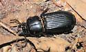 Large Beetle - Odontotaenius disjunctus