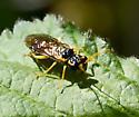 Sawfly? - Onycholyda luteicornis