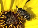 Syrphid - Copestylum lentum - female