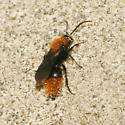 Velvet Ant?? - Dasymutilla