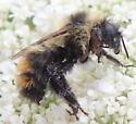 Bee - Bombus rufocinctus