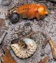 Beetle Pupa and Larva - Strategus antaeus