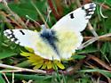 White butterfly - Euchloe ausonides