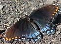 Orange and Blue Butterfly - Limenitis arthemis