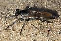 Robberfly - Stichopogon trifasciatus - Stichopogon trifasciatus