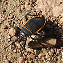 Black bug with orange and yellow edges to wing and abdomen - Largus