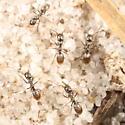Zippy ants - Forelius - female