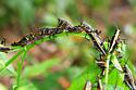 Eastern Lubber Aggregation - Romalea microptera