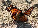 Monarch-Danaus phexippus - Danaus plexippus - male - female
