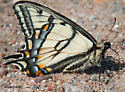Canadian tiger swallowtail - Papilio canadensis - male